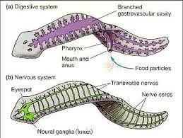 oxyuris vermicularis adalah cancer mamar tipuri