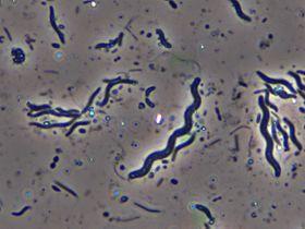 bacterii bacili