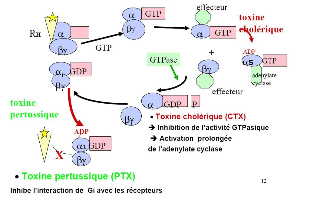 toxine pertussique proteine g