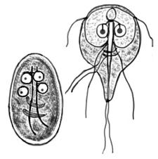 giardia lamblia parazit