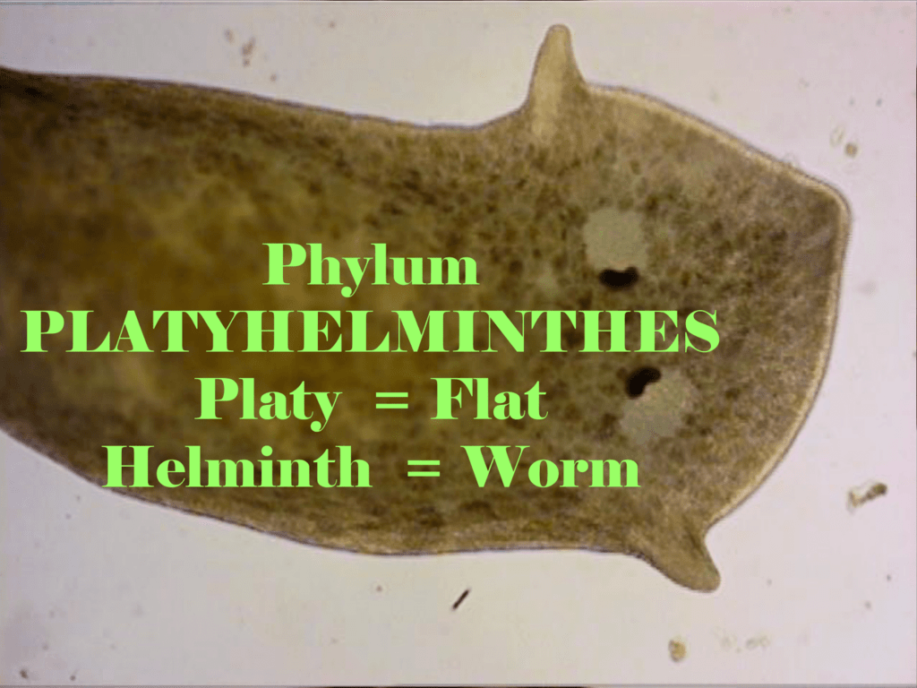 helminth worms phylum