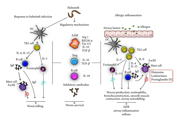 Helminth infections and host immune regulation - Helminth host immune system