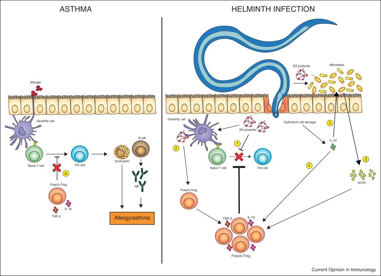tratament alergic helminth