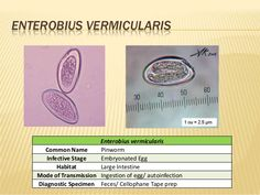enterobius vermicularis labeled