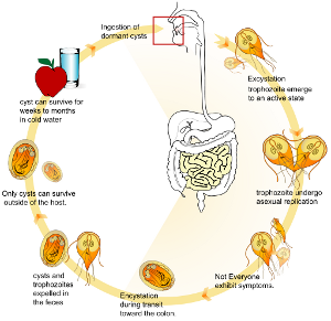 giardia duodenalis ciclo de viață)