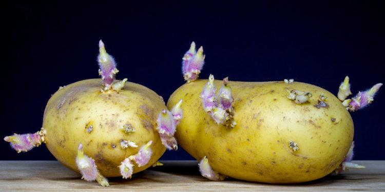 kartoffeln toxine