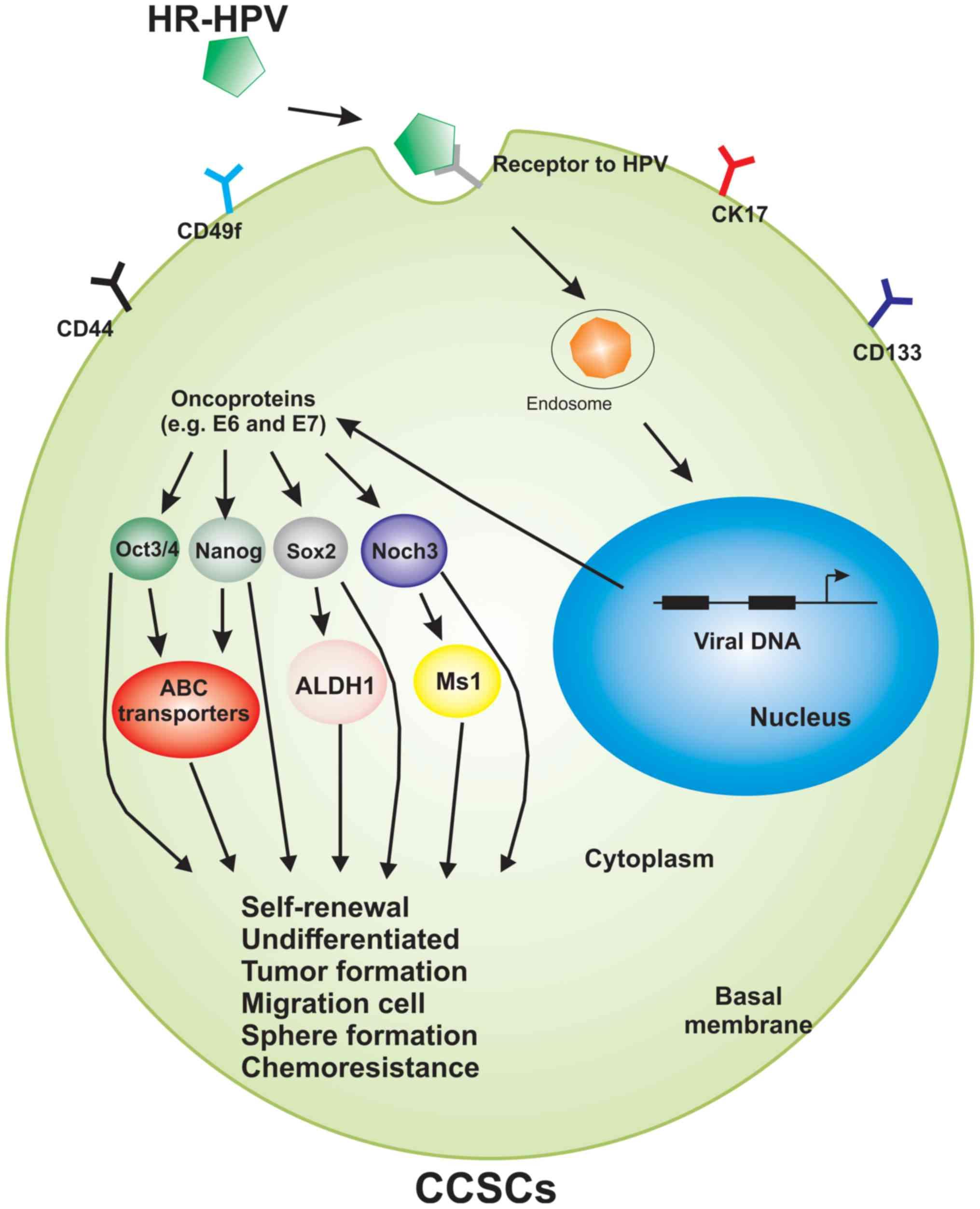 Is hpv cancer genetic, HPV (Human Papilloma Virus) | ARAS – Asociatia Romana Anti-SIDA