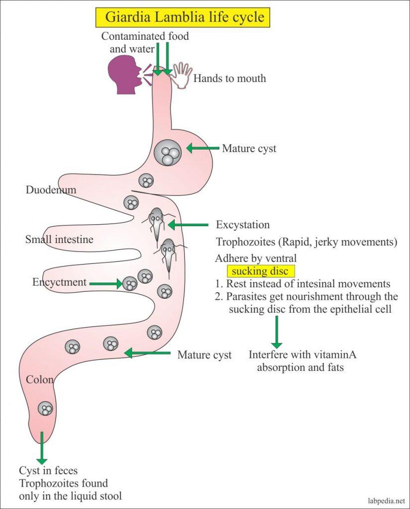 Statistici ale infecției cu helmint