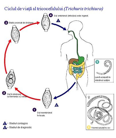 imagenes de un oxiuros papilloma virus uomo vaccini