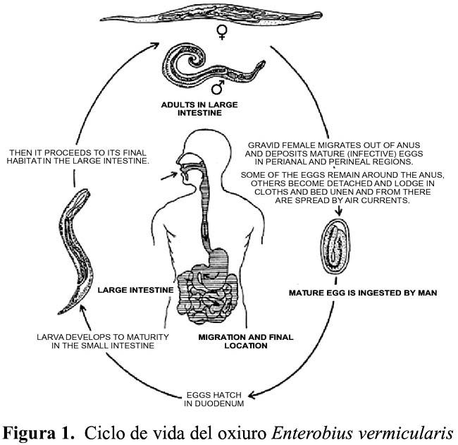 ciclo biologico de los oxiuros