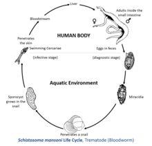 Recenzii cosuri vierme, Schistosomiasis klachten - Viermi hipodermici