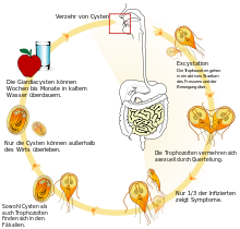 giardiasis mensch