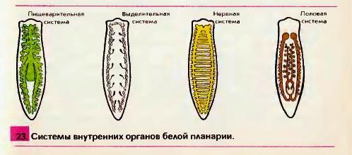 viermi din organele interne