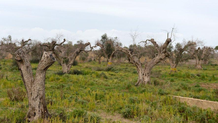 bacterie xylella olivier