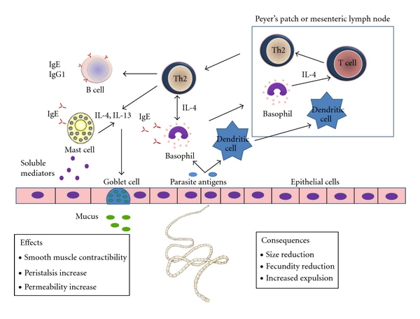 Helminth immune modulation. Helminth diseases examples