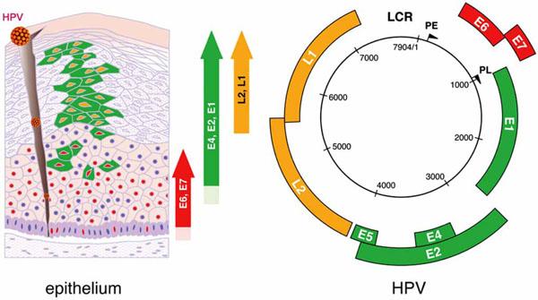Hpv virus genome, Fișier:Papilloma Virus (HPV) csrb.ro