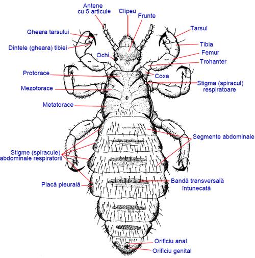 paraziti malofage sintomi di papilloma virus nell uomo