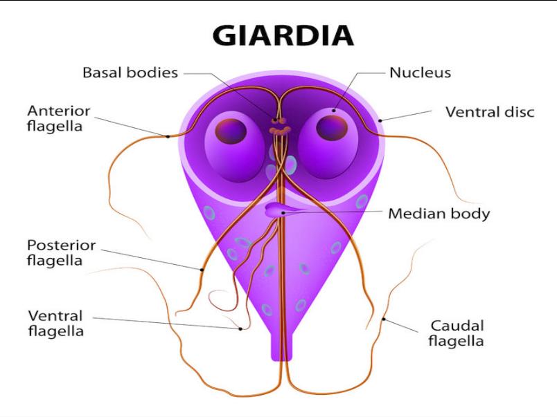 Giardien simptom mensch behandlung, Oxiuros tratamiento en ingles. Virus del papiloma y colposcopia