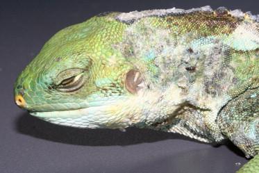 papillomas lizards detoxifiere de vara