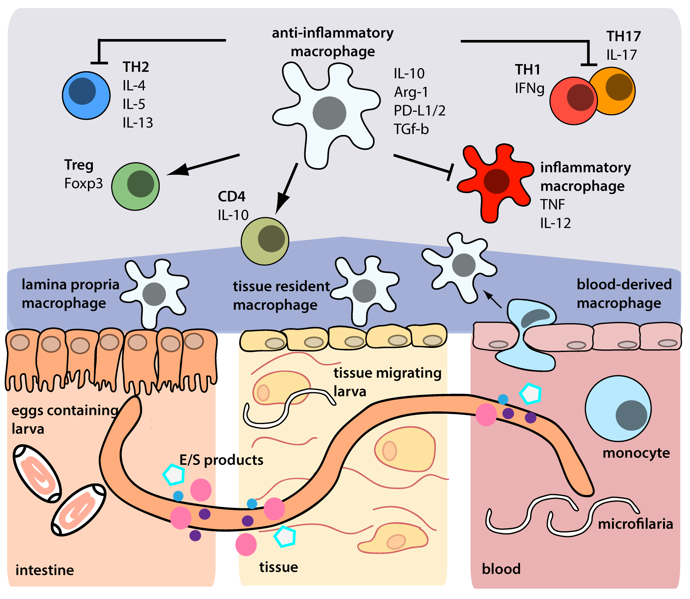 Helminth therapy in inflammatory bowel diseases - REVIEW-URI