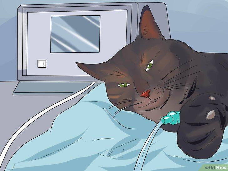 Los gatos tienen oxiuros, Oxiuros en gatos