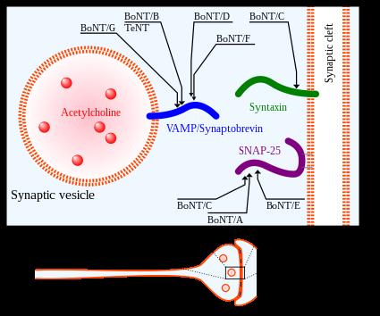 Botuline toxine Toxina botulinică - Wikipedia