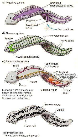 Filo platyhelminthes și nematode, Platyhelminthes biologice