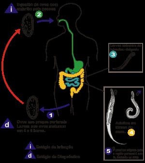 Oxiurose e prevencao, Piatra semipretioasa zodia gemeni Enterobius vermicularis prevencao
