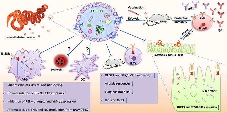 helminth immune modulation