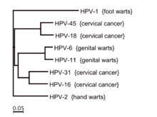 hpv types genital warts confluent and reticulated papillomatosis pathology