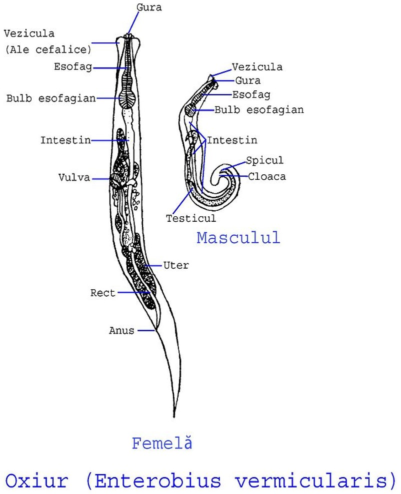 oxiuriasis enterobius vermicularis) giardiază și sarcină