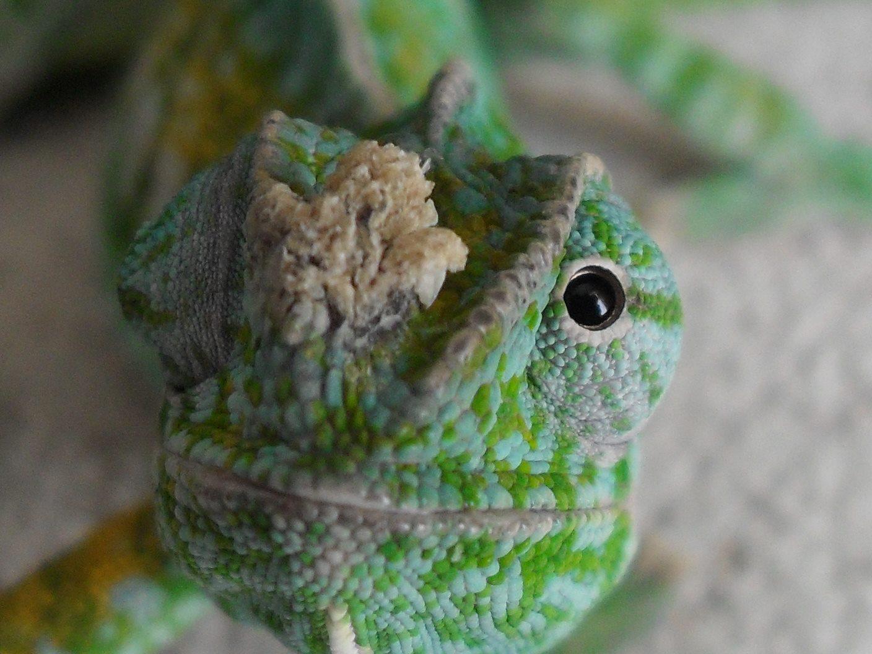 papillomavirus in chameleons tratamentul cu papilom cu unde radio