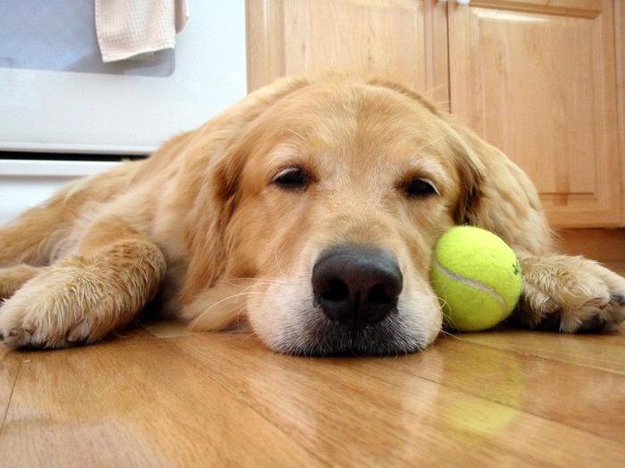 Cum să tratezi Giardia la câini și cățeluși - Panacur giardia perros