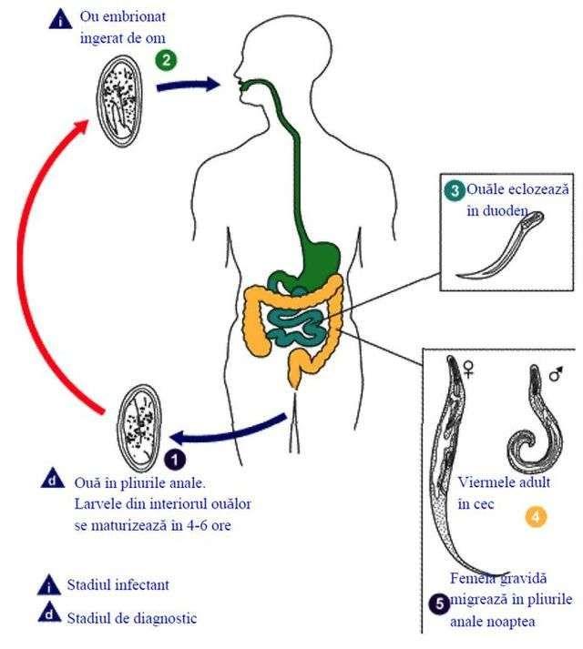Pinworm semne - Ficat - June