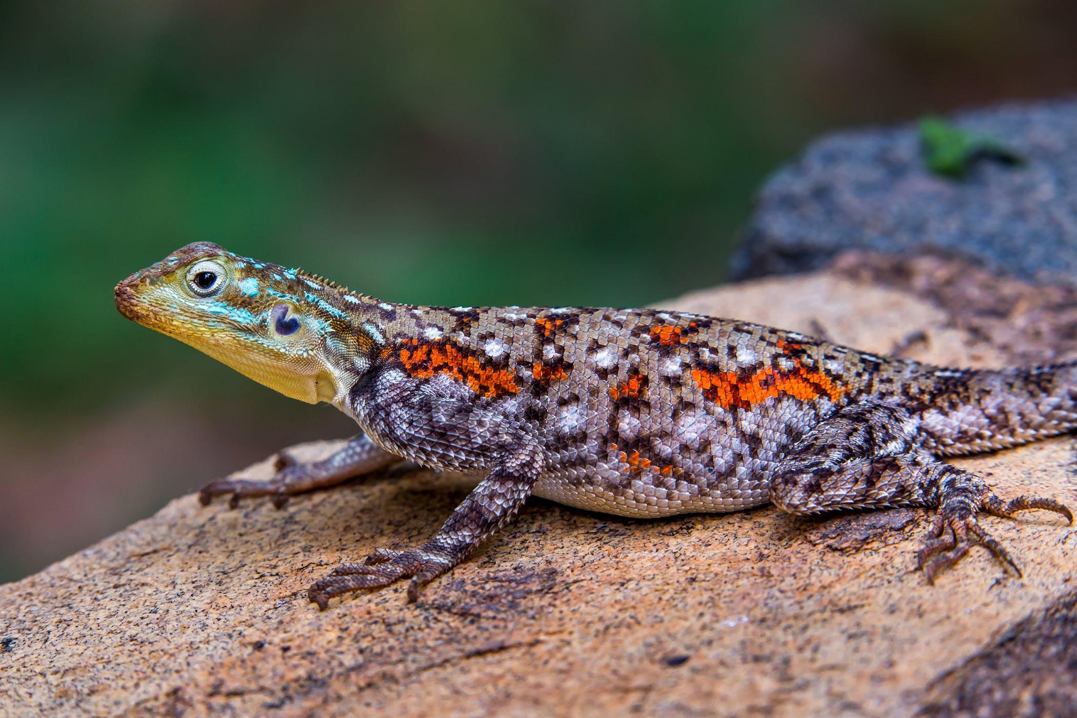 vol_52_pdf Papillomas lizards