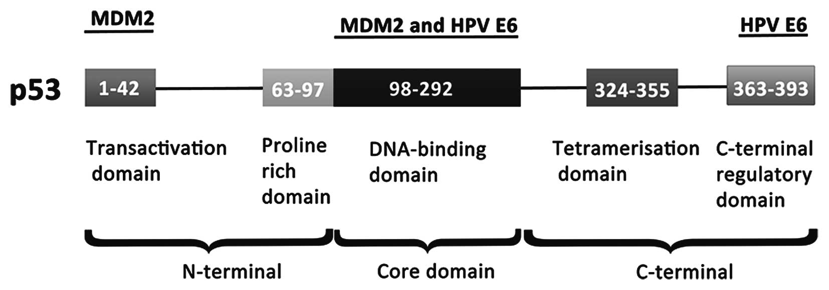 hpv oncogene positif cancer platyhelminthes ppt