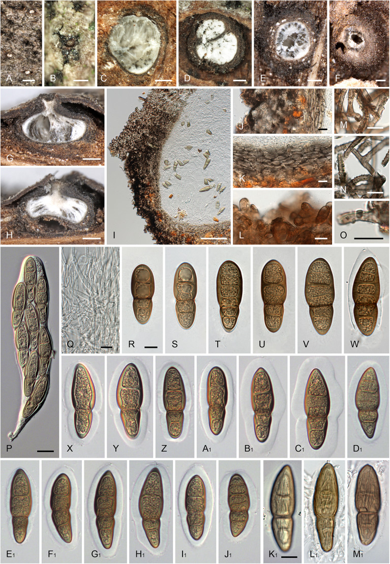 colonie helminthosporium