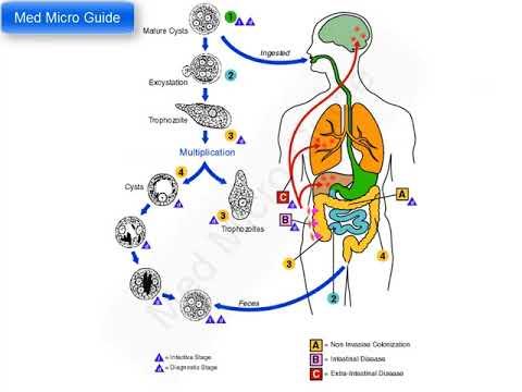 ciclul de dezvoltare și gestionarea pinworms apro viermi la locuitori