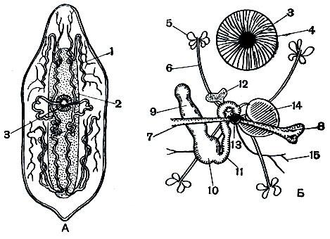 vierme rotunde masculin și feminin