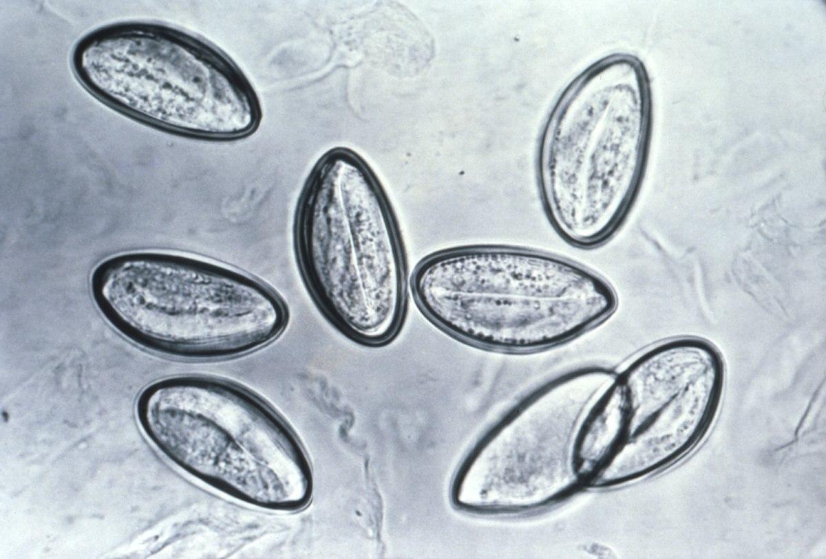 stadiul invaziv al enterobiozei