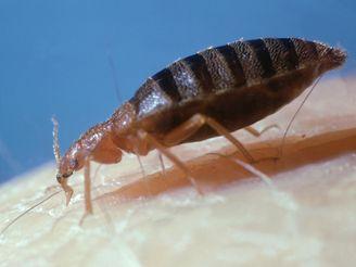 parazit ve vlasech