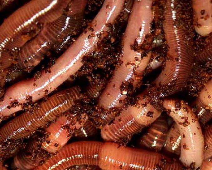 Cel mai mare vierme din lume, descoperit în Filipine