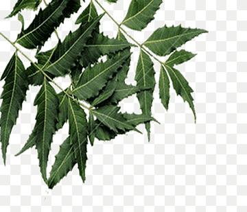 neem anthelmintic Regimuri de tratament cu Ascaris