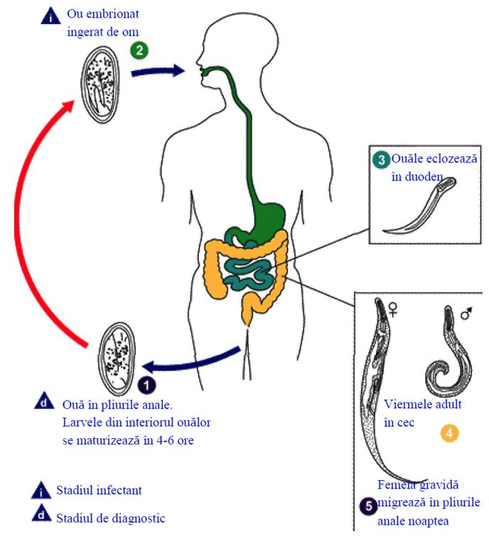 Ce se poate face împotriva paraziţilor intestinali? Cum le putem detecta şi elimina?