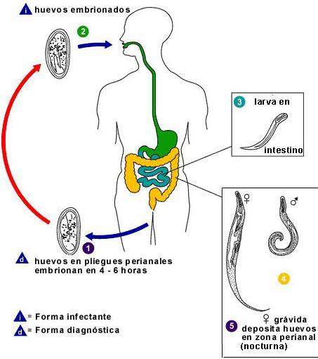 tratamentul papilomului degetelor enterobius vermicularis description