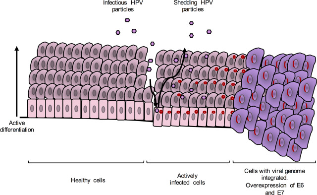 hpv virus c3 remedii pentru medicamente parazite umane