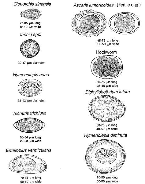 Imagine gratuită: Giardia lamblia, paraziţi, imunofluorescenţă, testare, giardioza