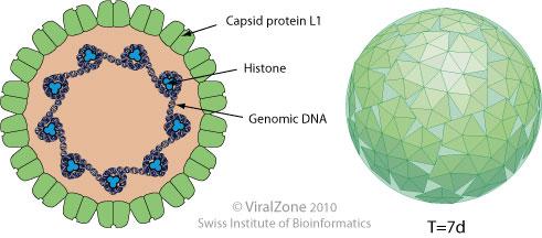 papillomavirus french cum se vindecă rănile din negii genitali