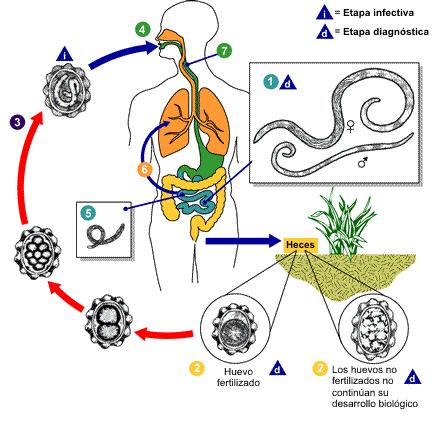 Oxiuros ciclo de vida cdc. Hierbabuena oxiuros