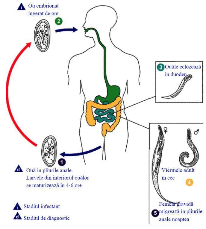 ciclul de viață al enterobiozei